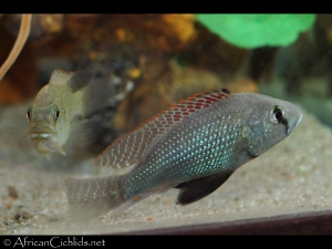 Spawning pair of Astatotilapia desfontainii (Tunisia)